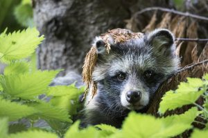 Racoon and Wildlife